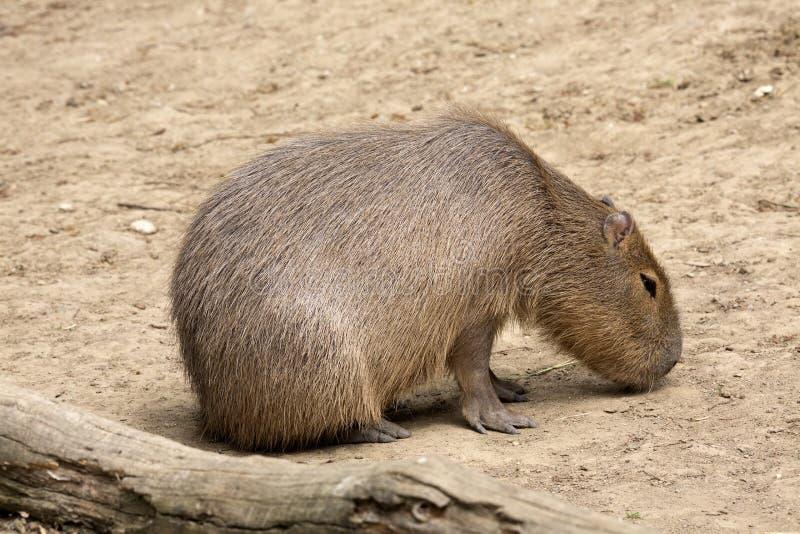 Capybara de los hydrochaeris del Hydrochoerus, el roedor más grande foto de archivo