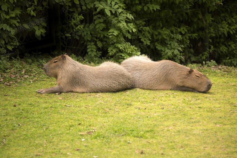 Capybara de los hydrochaeris del Hydrochoerus, el roedor más grande imágenes de archivo libres de regalías