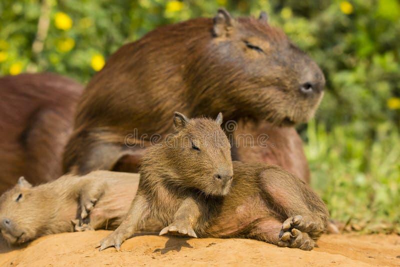 Capybara del bebé que lucha a Sit Up foto de archivo