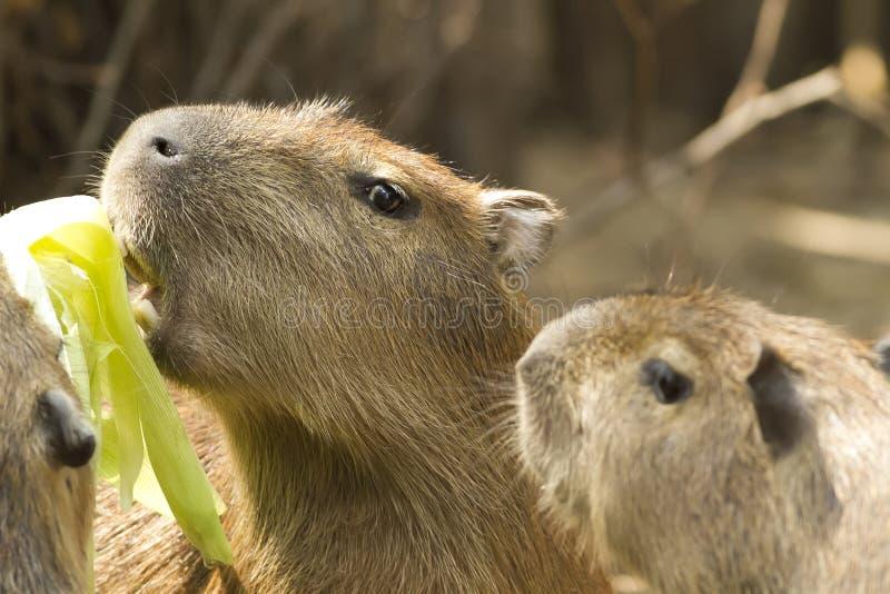 Capybara in der Safari lizenzfreie stockfotografie