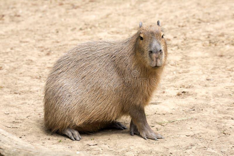 Capybara di hydrochaeris del Hydrochoerus, il più grande roditore immagini stock libere da diritti