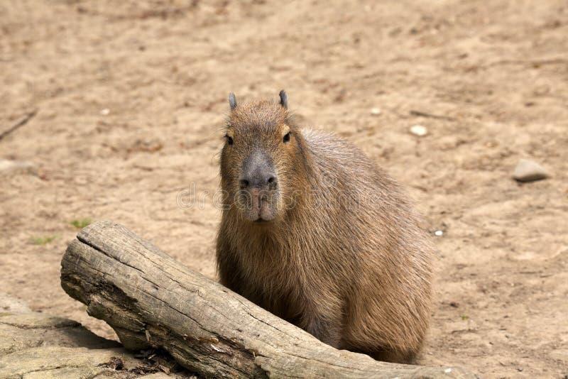 Capybara di hydrochaeris del Hydrochoerus, il più grande roditore immagine stock