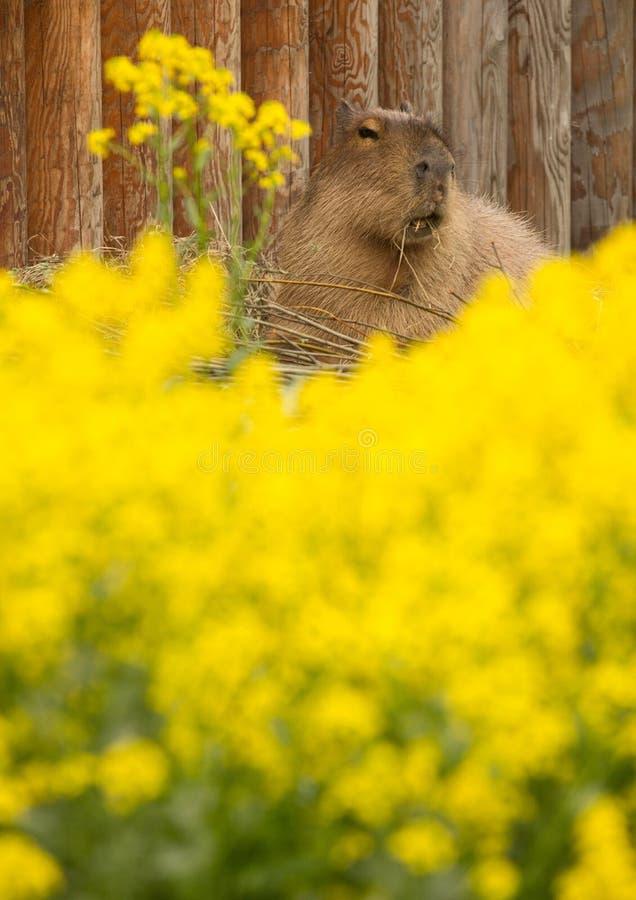 Capybara die gras eet stock foto's