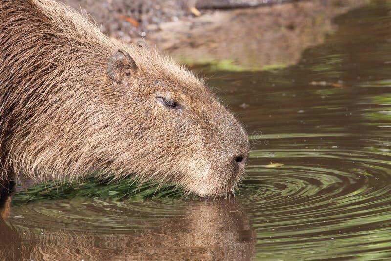 Download Capybara  drinking stock photo. Image of capybara, cute - 25837252