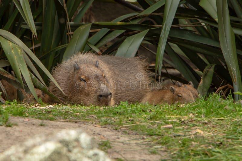 Capybara durmiente de la madre y del bebé fotografía de archivo