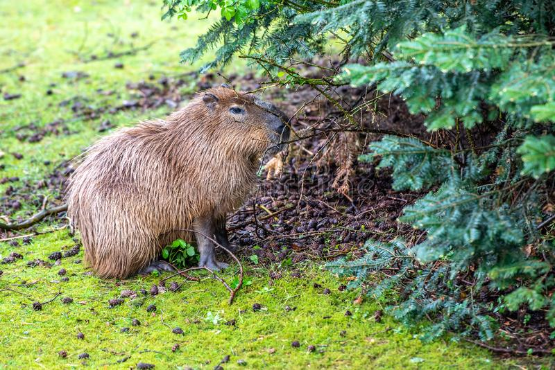 Capybara is eating on the grass royalty free stock image