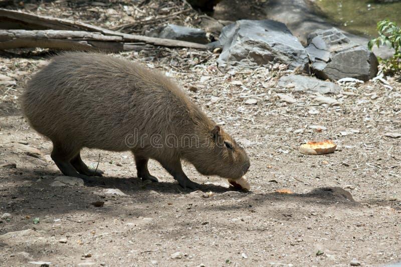 Capybara eet royalty-vrije stock foto