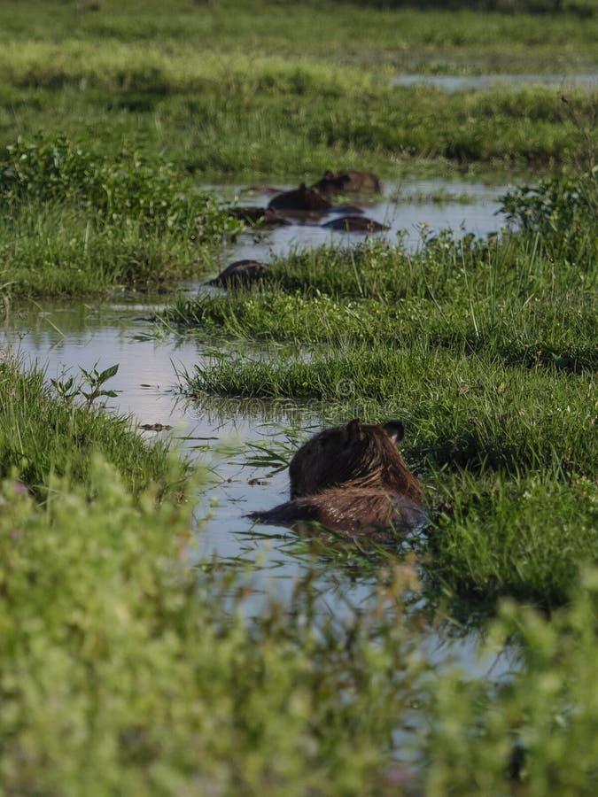 Capybara, el roedor más grande imagen de archivo libre de regalías