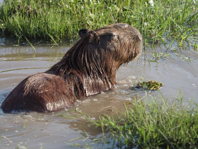 Capybara, el roedor más grande imágenes de archivo libres de regalías