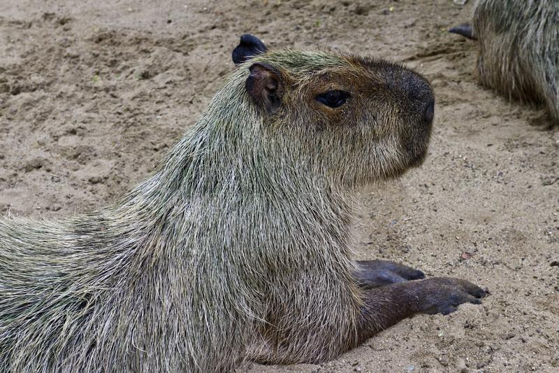 Capybara el roedor más grande del mundo de un parque del safari foto de archivo libre de regalías