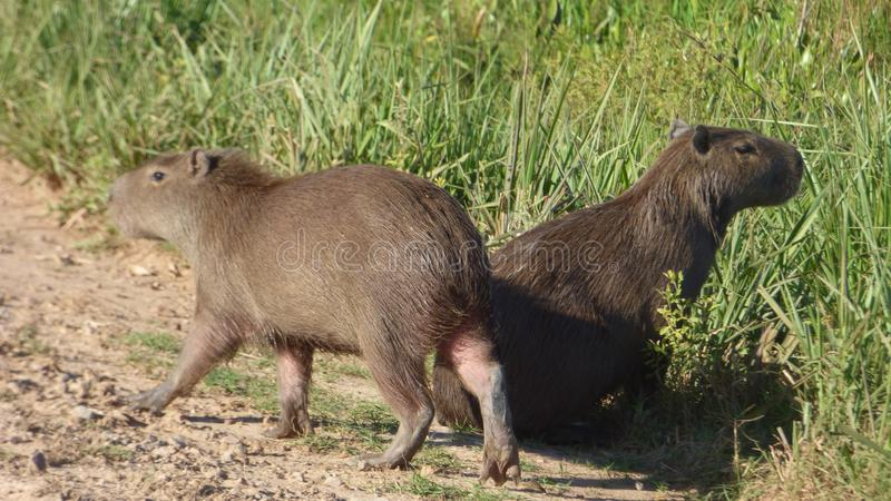 Capybara en Bolivia, Suramérica fotografía de archivo libre de regalías
