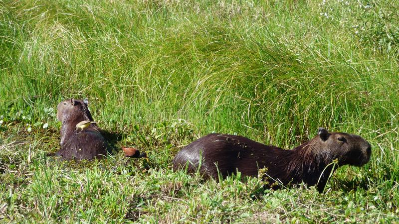 Capybara en Bolivia, Suramérica foto de archivo libre de regalías