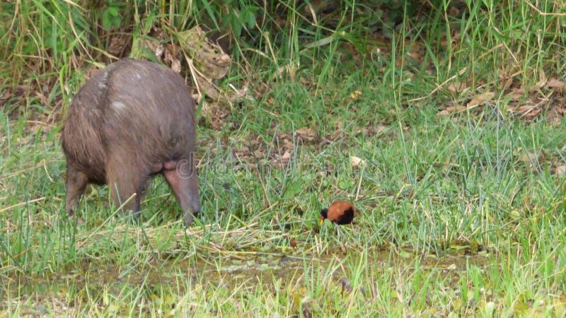 Capybara en Bolivia, Suramérica imagen de archivo libre de regalías