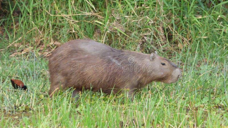 Capybara en Bolivia, Suramérica imagen de archivo