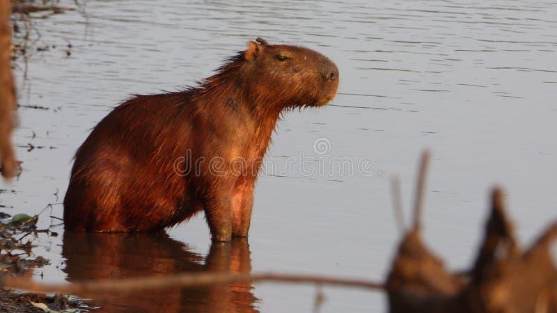 Capybara en Bolivia, Suramérica fotos de archivo