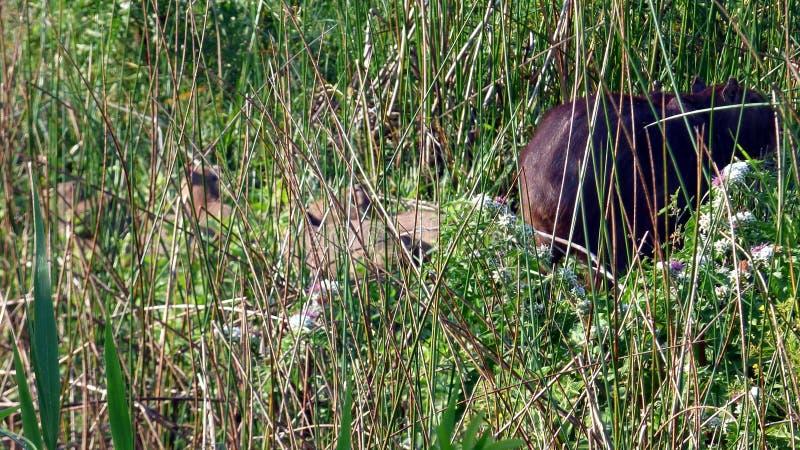 Capybara en Bolivia, Suramérica imágenes de archivo libres de regalías