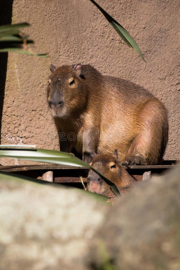 Capybara enjoying the winter sun light in the open stock images