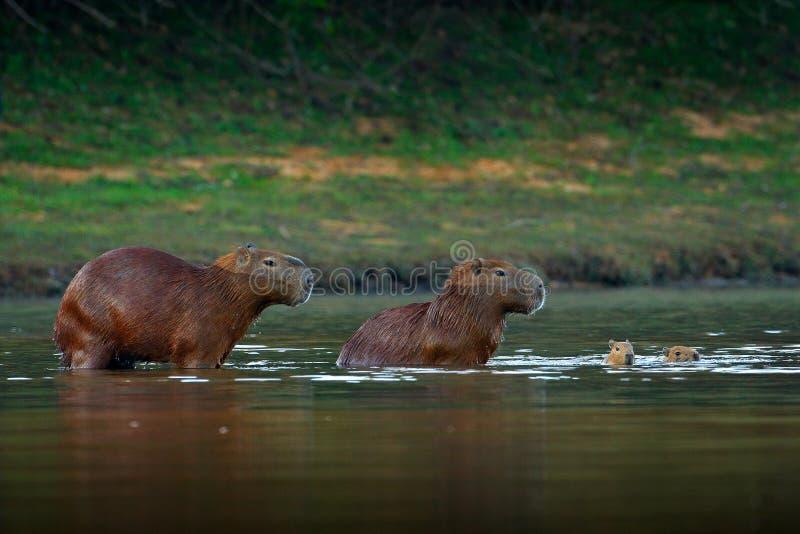 Capybara, famiglia con due giovani, più grande topo in acqua con la luce durante il tramonto, Pantanal, Brasile di sera Scena del fotografie stock libere da diritti