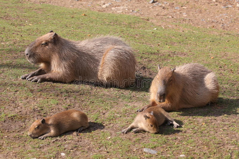 Capybara family royalty free stock images