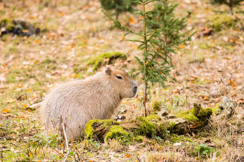 Capybara in front of small tree royalty free stock photography