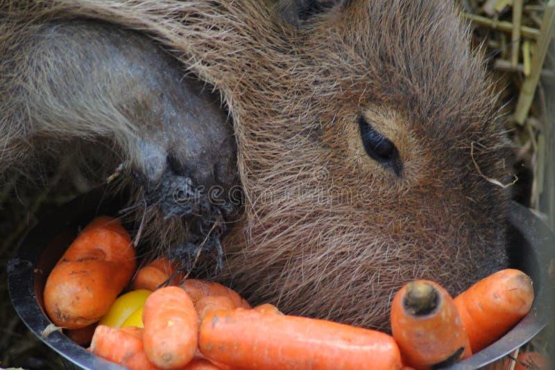 Capybara het eten stock fotografie