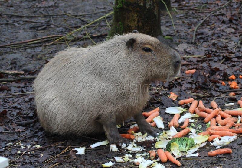 Capybara het eten royalty-vrije stock afbeelding