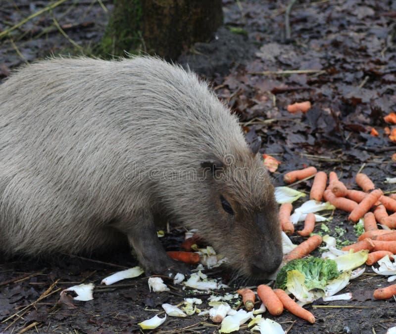 Capybara het eten stock foto's