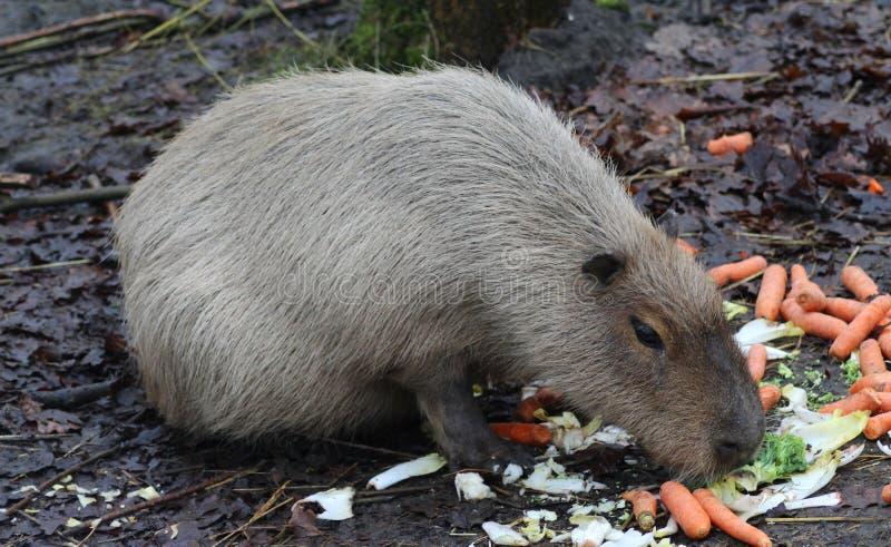Capybara het eten royalty-vrije stock foto