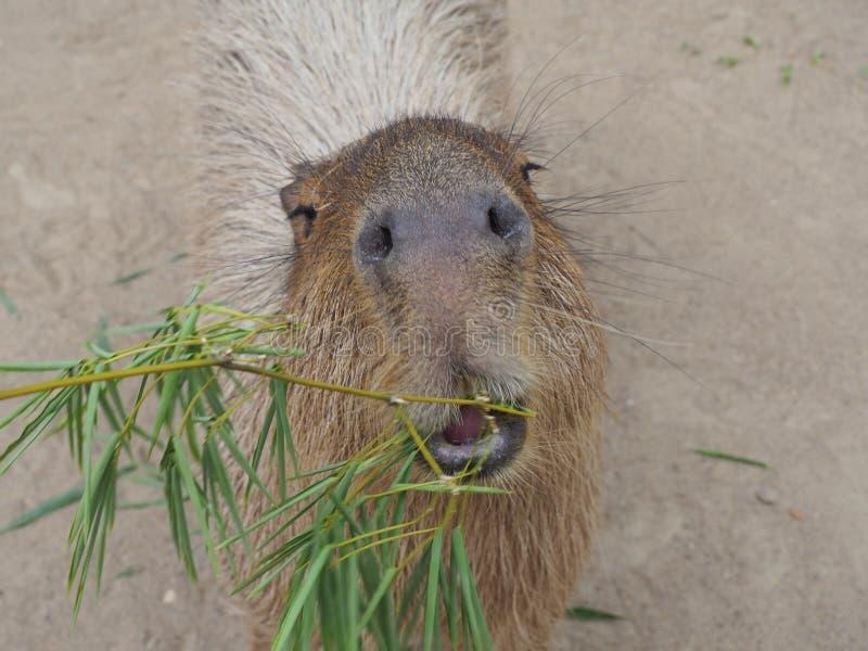 Capybara het voeden stock afbeeldingen