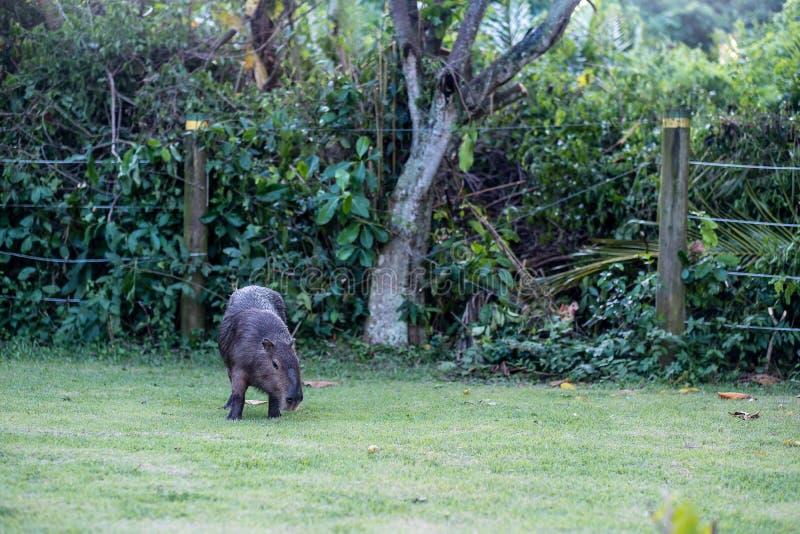 Capybara het weiden op gras binnen privé-bezit Cabycara is een kalm en zacht zoogdier, zeer gemeenschappelijk in Rio de Janeiro royalty-vrije stock foto