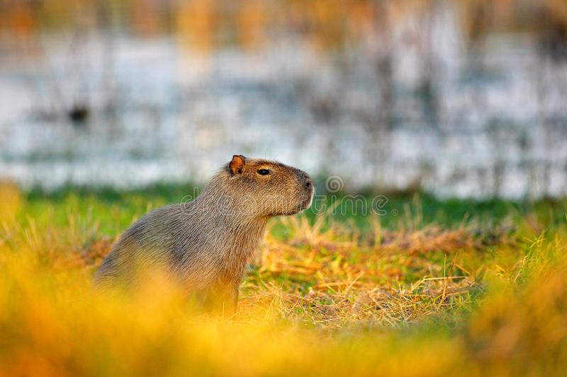 Capybara, hydrochaeris de Hydrochoerus, la plus grande souris dans l'eau avec la lumière de soirée pendant le coucher du soleil,  photographie stock
