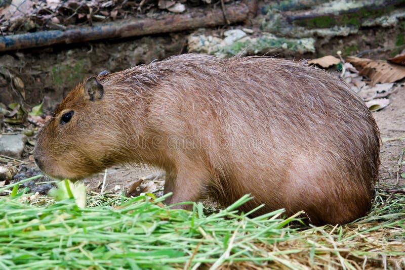 Capybara (hydrochaeris del Hydrochoerus) imagen de archivo