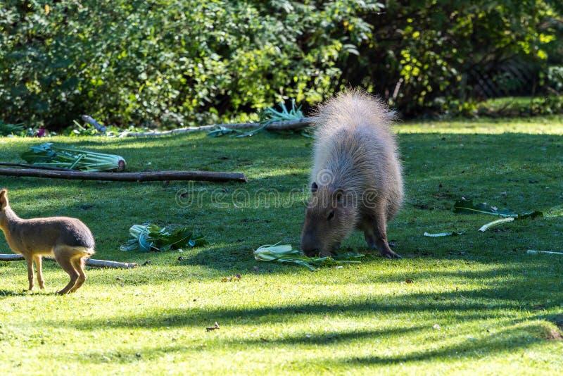 Capybara, hydrochaeris del Hydrochoerus che pascono sull'erba verde fresca immagine stock libera da diritti