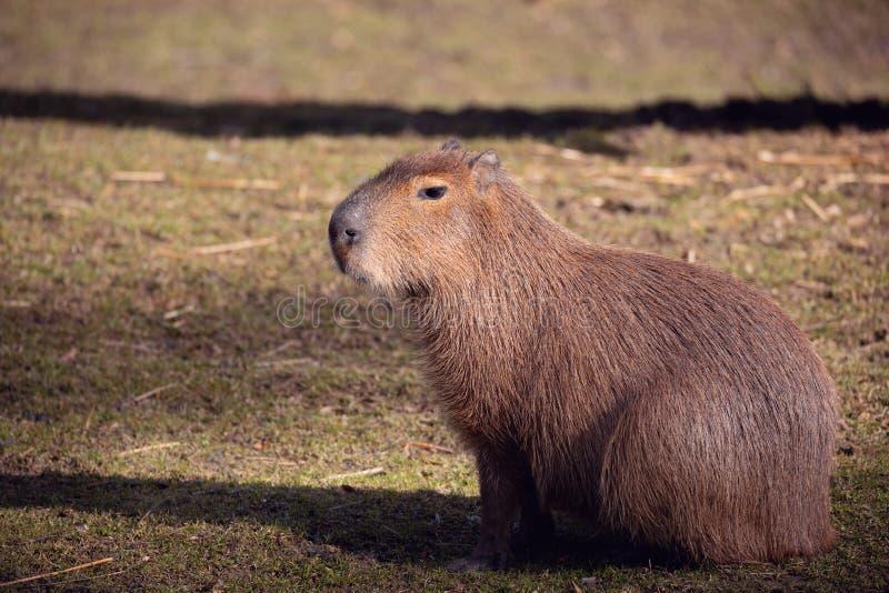 Capybara, hydrochaeris del Hydrochoerus imagen de archivo