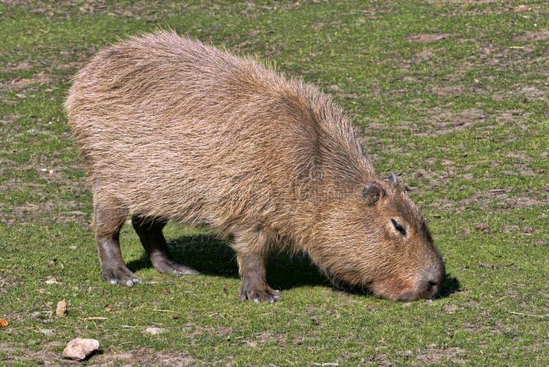 Capybara, hydrochaeris del Hydrochoerus, pascolo immagine stock libera da diritti