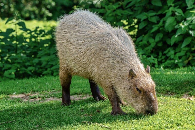 Capybara, hydrochaeris del Hydrochoerus pastando en hierba verde fresca fotos de archivo libres de regalías