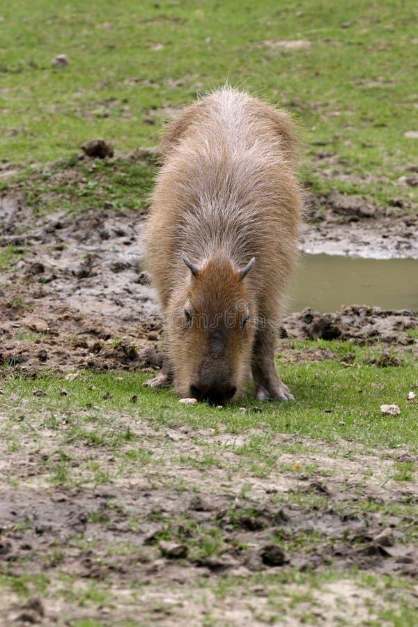 Capybara, hydrochaeris del Hydrochoerus, pasto imágenes de archivo libres de regalías