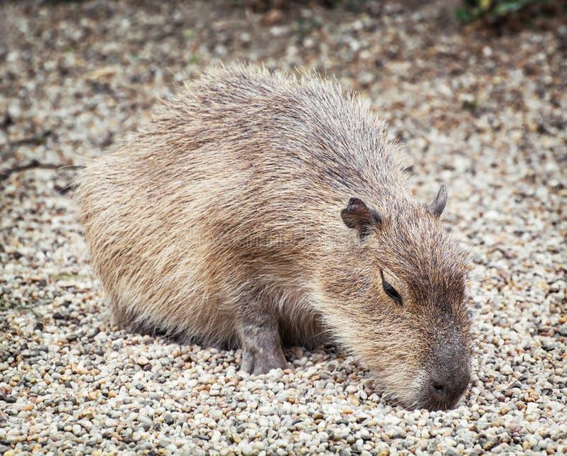 Capybara (hydrochaeris) del Hydrochoerus, scena animale immagini stock libere da diritti