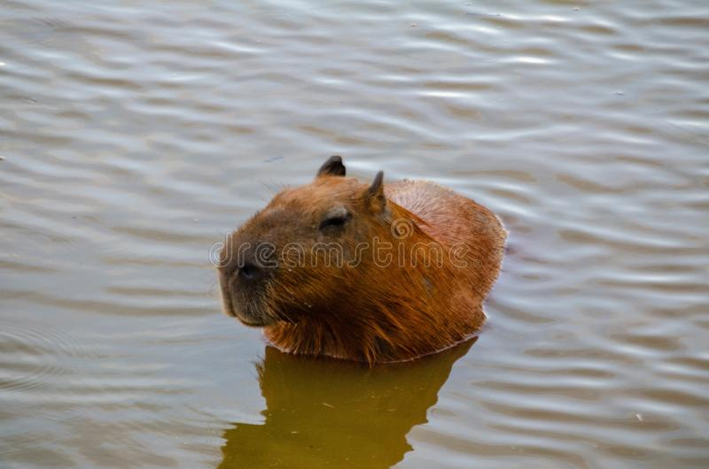 Capybara Swimming In Orange Water, Partly Submerged Stock ...