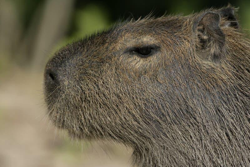 Capybara, Hydrochoerus-hydrochaeris royalty-vrije stock fotografie