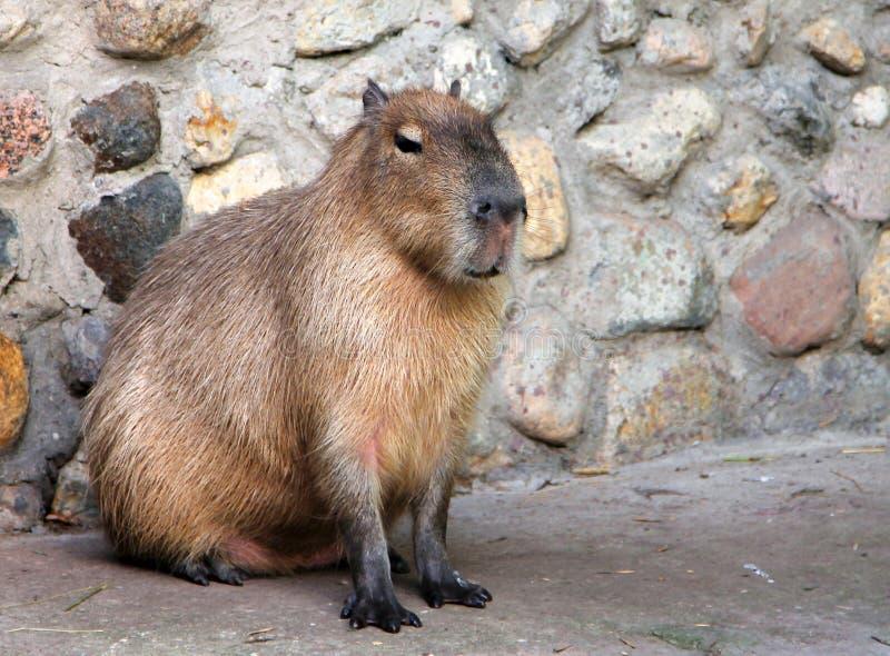 Capybara Hydrochoerus hydrochaeris royalty free stock photo