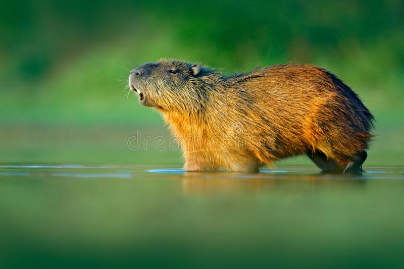 Capybara, Hydrochoerus hydrochaeris, Biggest mouse in water with evening light during sunset, Pantanal, Brazil. Wildlife scene fro royalty free stock photo