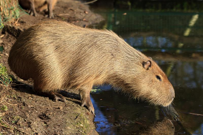 The capybara Hydrochoerus hydrochaeris. The largest living rodent in the world. Aka chigüire and carpincho, it is a member of the genus Hydrochoerus royalty free stock images