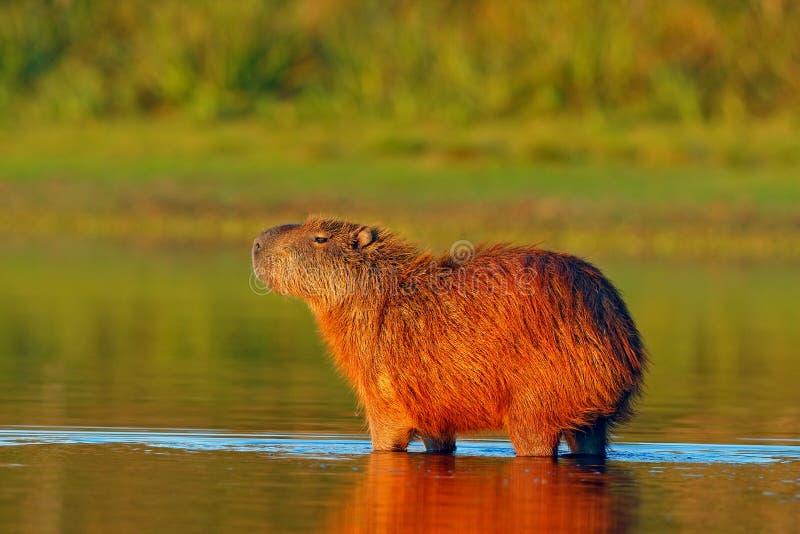Capybara, Hydrochoerus-hydrochaeris, Grootste muis in het water met avondlicht tijdens zonsondergang, Pantanal, Brazilië royalty-vrije stock fotografie
