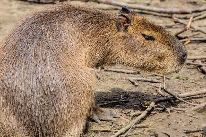 Capybara, Hydrochoerus hydrochaeris, the largest rodent stock photo