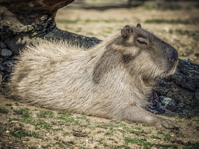 Capybara. The capybara Hydrochoerus hydrochaeris is a mammal native to South America. It is the largest living rodent in the world. Also called chigüire, chig royalty free stock photos