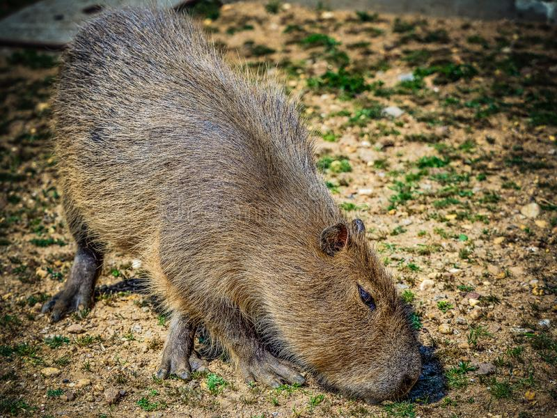 Capybara. The capybara Hydrochoerus hydrochaeris is a mammal native to South America. It is the largest living rodent in the world. Also called chigüire, chig stock images