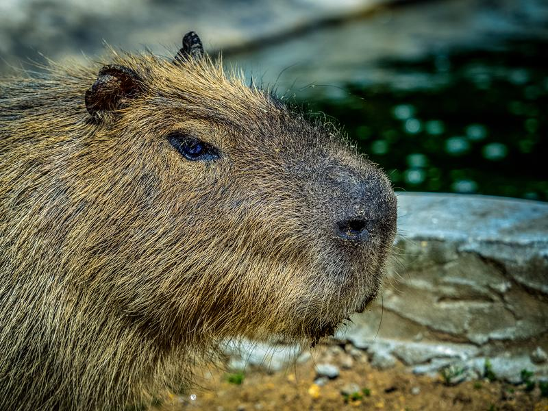 Capybara. The capybara Hydrochoerus hydrochaeris is a mammal native to South America. It is the largest living rodent in the world. Also called chigüire, chig stock image