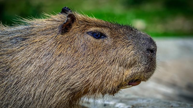 Capybara. The capybara Hydrochoerus hydrochaeris is a mammal native to South America. It is the largest living rodent in the world. Also called chigüire, chig stock photo