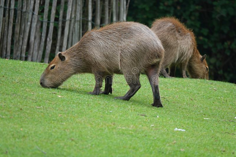 Two Capybaras or water hog grazing on green grass. The capybara Hydrochoerus hydrochaeris is a mammal native to South America. It is the largest living rodent in royalty free stock photos